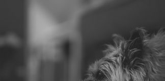 Everything You Need to Know About the Cairn Terrier Dog Breed